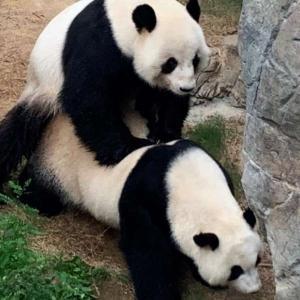 Панди се чифтосаха за първи път от 10 години, след като COVID-19 опразни зоопарка от посетители