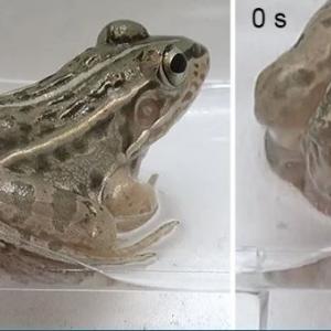 Жаба погълна тези водни бръмбари, но те се измъкнаха живи през задните ѝ части