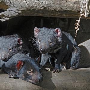 Тасманийските дяволчета създават приятелства за цял живот
