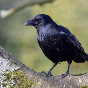 Враните притежават известна форма на съзнание