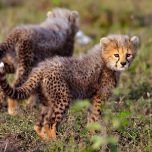 За първи път в света се родиха гепардчета, заченати инвитро