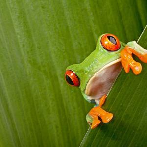 Ето защо някои жаби имат толкова големи очи на фона на своето тяло