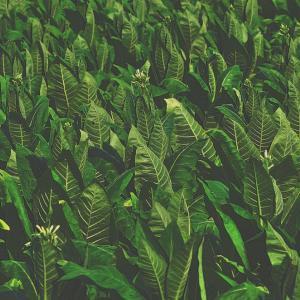 Когато са стресирани, растенията издават звуци, които не можем да чуем