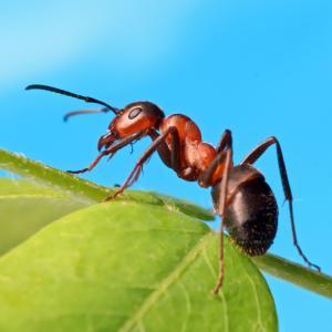 Виц: Бабо мравке на новобългарски