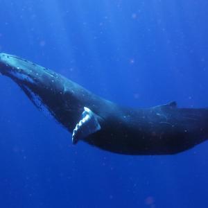 Ето как сините китове са станали най-големите същества на Земята