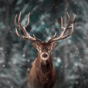 Северните елени имат