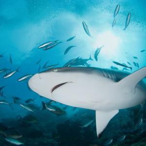 Все пак акулите се сприятеляват с други акули