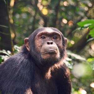 За първи път шимпанзета бяха забелязани да убиват горили
