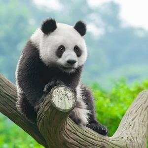 Опазването на пандата е оказало отрицателен ефект върху други видове, включително леопарди и вълци