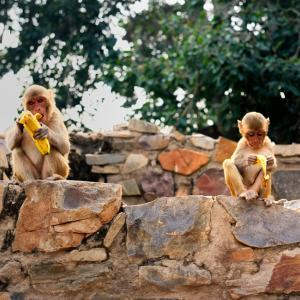 Маймуни нападнаха лаборант в Индия и откраднаха положителни проби за коронавирус