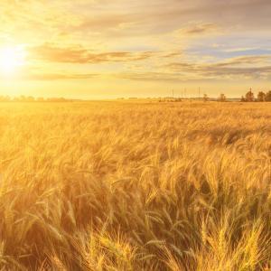 Екстремалните метеорологични явления увеличават уязвимостта на земеделските култури