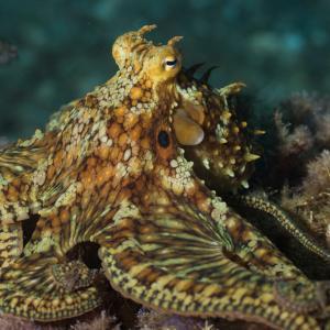 """Ето как октоподите ви """"вкусват"""" със своите пипала"""