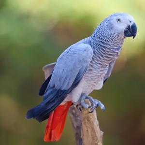 Кой е най-бъбривият папагал