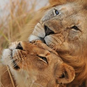 Неразделна двойка възрастни лъвове бяха приспани заедно, за да не живеят един без друг