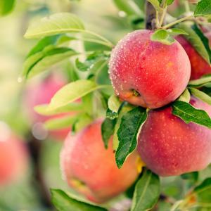 Притча за падащите ябълки и успеха