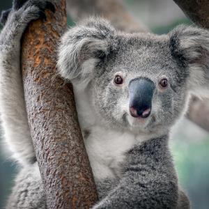 Едва ли сте си представяли, че коалите звучат точно по този начин