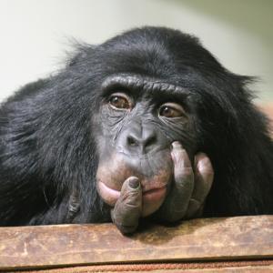 Най-умната маймуна може да отвори врата с ключ