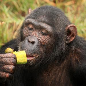 Забраненият плод се услажда повече и на шимпанзетата