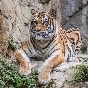 За тигрите с любов