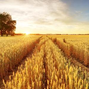 Притча: Селянинът и житното поле