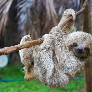 Ленивецът рискува живота си всеки път когато ходи по голяма нужда