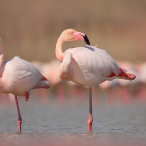 Розовото фламинго – грация в розово