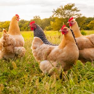 10 интересни факта за кокошките