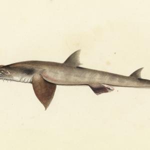 Откриха два нови вида акули в Индийския океан