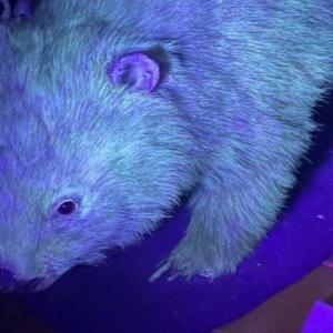 Оказва се, че и козината на вомбатите е биофлуоресцираща