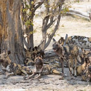 Глутници африкански кучета вземат групови решения чрез кихане