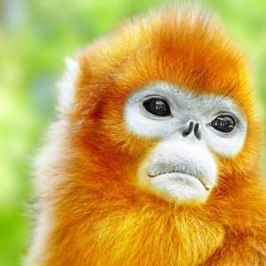 Когато изгубят приятел, маймуните скърбят с часове