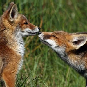 Двете лисичета