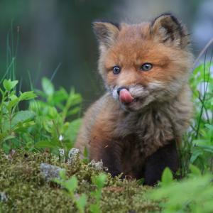 12 сладки лисичета