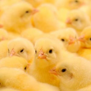 Виц: Проблем в птицефермата