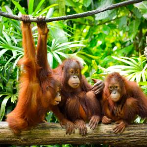 Орангутаните си говорят с жестове
