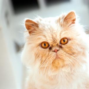 Персийски приказки за персийските котки