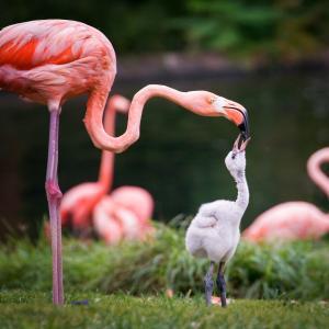 Фламингото се излюпва със сиво оперение. Защо тогава е розово?