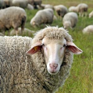 Честит рожден ден на овцата Доли!