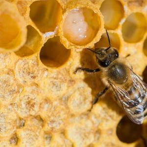 Маточното млечице на пчелите ускорява лекуването на рани