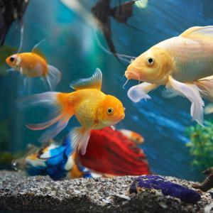 Кое кара рибките да се плашат от собствения си образ?