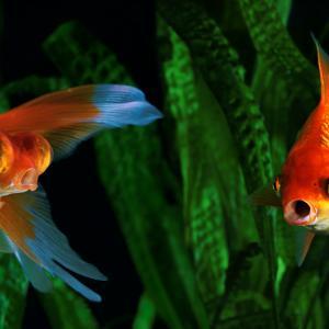 Златната ви рибка се справя с мръсния аквариум, като произвежда свой собствен алкохол