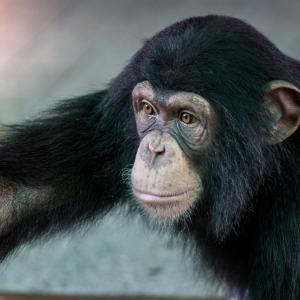 Шимпанзетата ни предадоха урок по алтруизъм