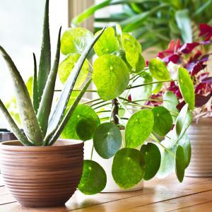 Съжаляваме, но растенията не подобряват въздуха у дома или в офиса