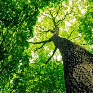 Дърветата издават звуци, когато са жадни