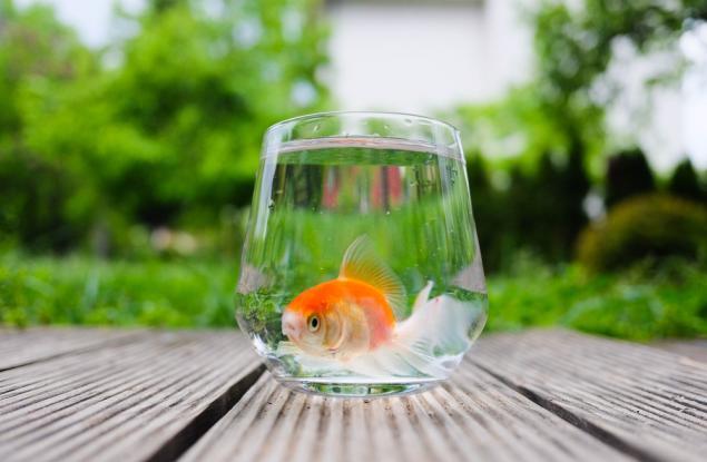 златна рибка | Обекти