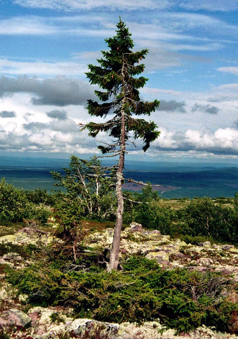 800px-old-tjikko-2011-07-19-001.jpg?itok