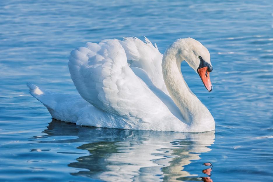 Резултат с изображение за лебед